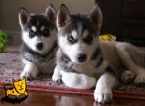 BlueEyesSiberianHuskyPuppiesavailable
