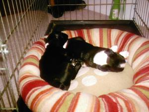 BostonTerrierPuppies