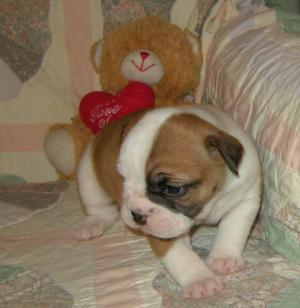 BeautifulBullyOldeEnglishBulldoggePuppies