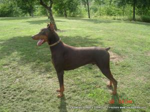 ChampionBloodlineDobermanpuppies