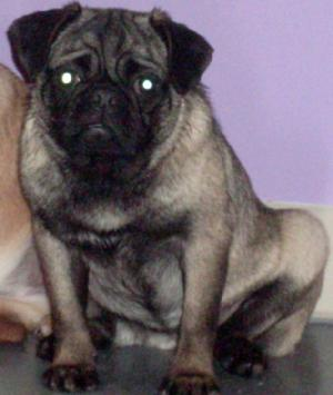 BlackcreamfemalePugforSale