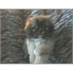 BeautifulPekingesepuppiesforSale