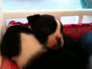 BostonTerrierPuppiesForSale