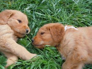 GoldendoodlePuppies