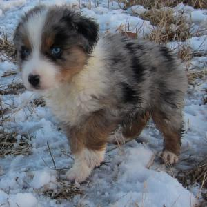 AKCASCAAustralianshepherdPuppies