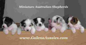 ForSellweeksoldAustralianShepherdpuppies