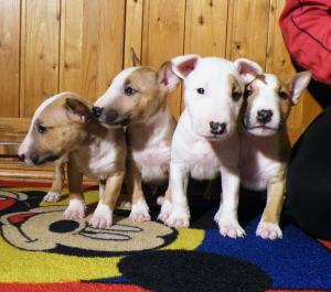 ClearMiniatureBullTerrier