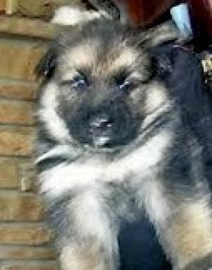 AKCGermanSheperdpuppies