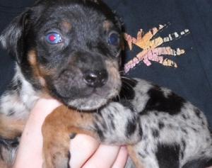 BeautifulNALCCatahoulaPuppies