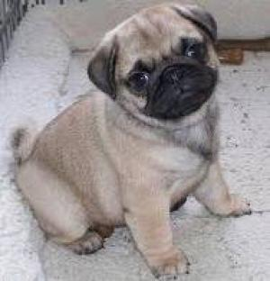 LovelyPugPuppiesReadytogo