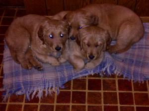 ReadytoGoRegisteredGoldenRetrieverPuppies