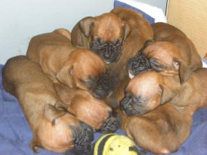 BeautifulAKCBoxerpuppies