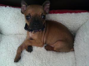 BostonTerrierMiniaturePinscher