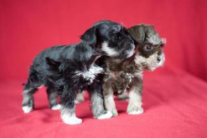 ToySchnauzerPuppies