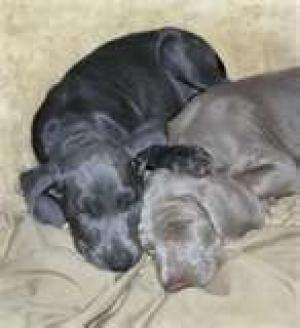 BlueWeimaranerPuppies