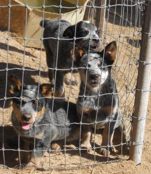 BlueHeelerPuppies