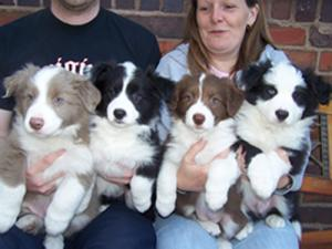 Adorablebordercolliepuppies