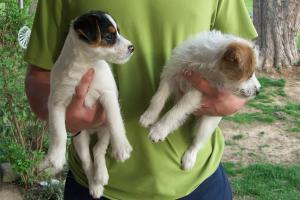 JackRussellPuppies