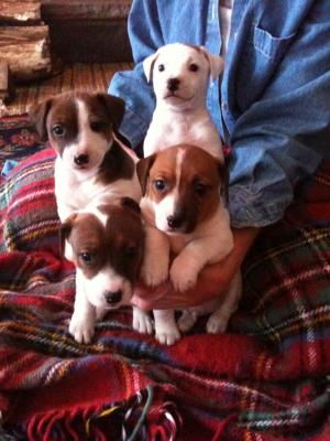 AdorableJackRusselTerrierPuppies