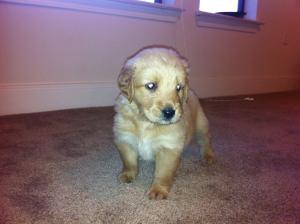 GoldenRetrieverPuppy