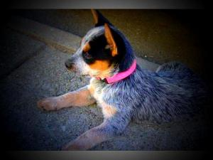 CKCAustralianCattleDogPuppies-DixieHeelerKe