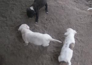 PitbullPuppies