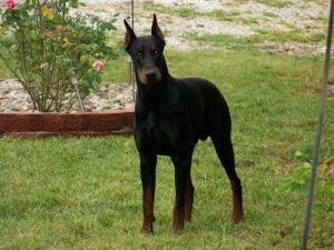 AKCEuropeanDobermanpuppies