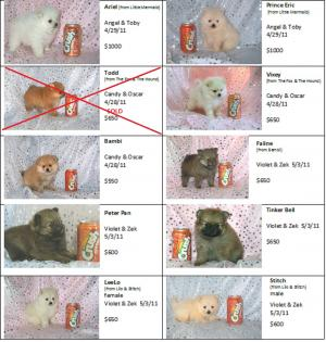 CKCRegisteredPomeranianPuppies