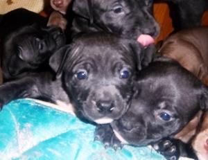 PitBullPuppiesForSale