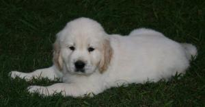 BeautifulEnglishCreamGoldenRetrieverPuppies