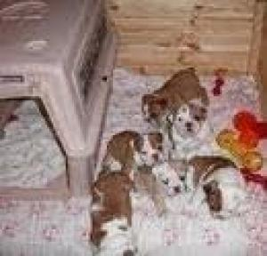 CuteAKCregEnglishBulldogPuppiesAvailable