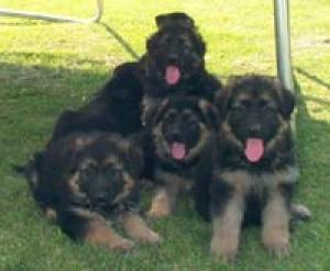 OldFashionLargeGermanShepherdPuppies