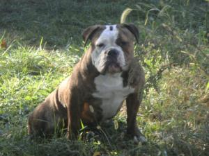 Ioeba Olde English Bulldogges