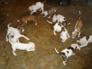 Americanpitbullpuppies