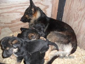 GermanShepherdfemalepupsforsale