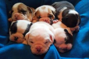 OldeEnglishBulliePups