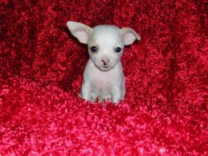 TinyTeaCupChihuahuaPuppiesavailable