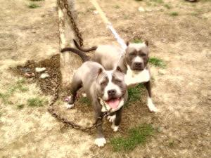 ukcprpitbullpuppiesareherebluetri-colorge