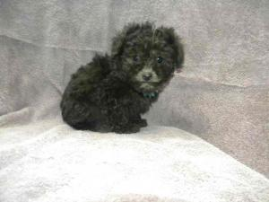 Champion Sired Tiny Toy Silver Poodle Puppies for