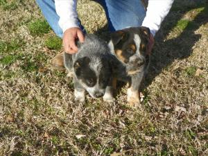 BlueHeelerpups
