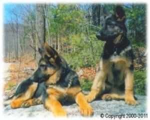 GermanShepherdsofMunsterAbbeyLLC