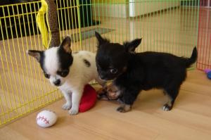 Lovelychihuahuapuppiesavailable