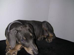 BlueDobermanPincsher-Female