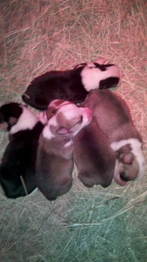 AKC Pembroke Welsh Corgi Puppies