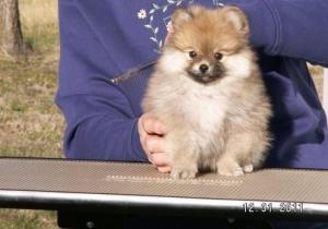 BeautifulPomeranianPuppiesForSale