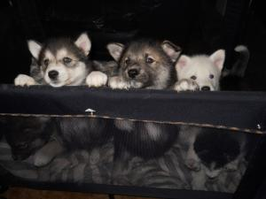 WolfHuskyPuppies