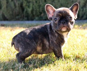 AdorableFrenchBulldogPuppiesBoysGirls