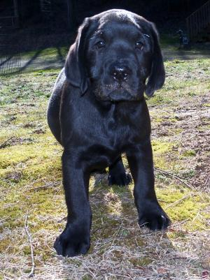 BlackLabMalePuppy
