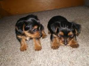 HealthyTeacupYorkiePuppiesForAdoption