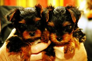 cuteyorkiepuppiesforadoption